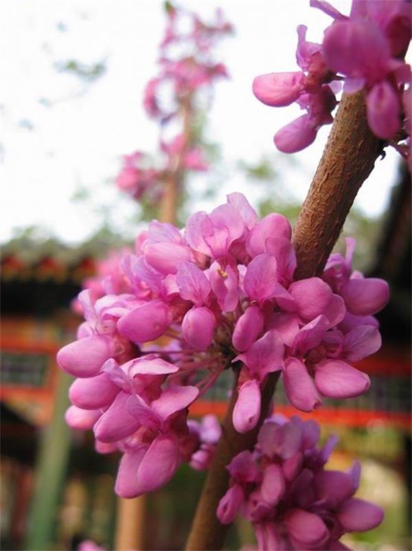 1紫荆_看图王.jpg